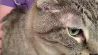 gatto con alopecia