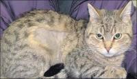 alopecia gatti