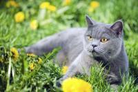 Foto Il Gatto può bere camomilla?