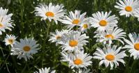 camomilla fiore
