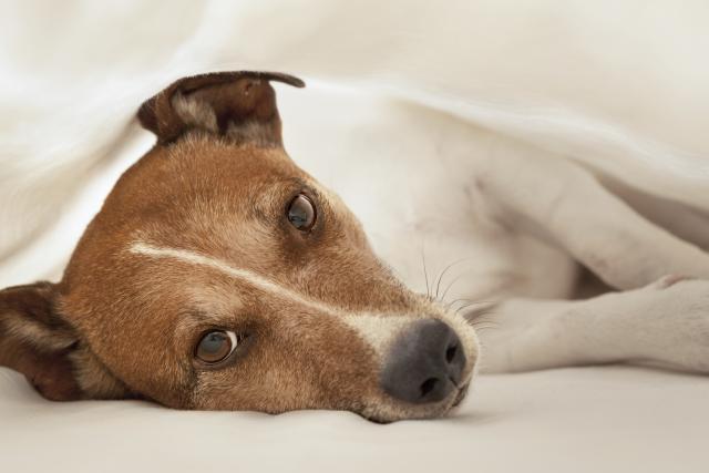Foto Insufficienza pancreatica nei Cani
