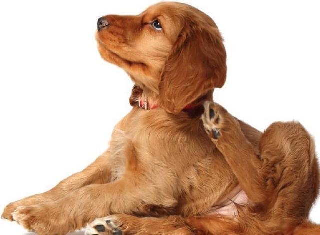 Foto La dermatite atopica nei Cani