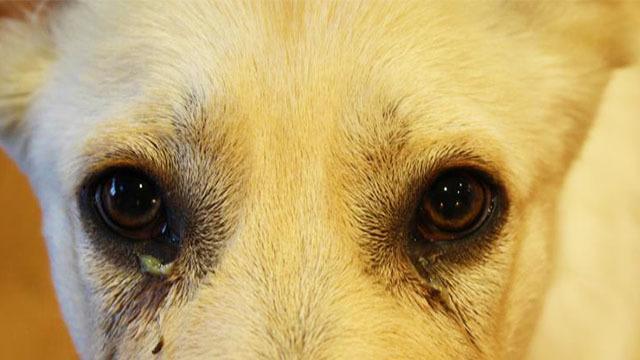 cane occhi lacrimano