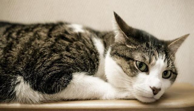 acari del gatto