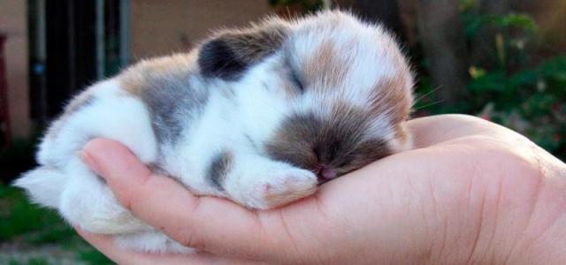 cucciolo di coniglio nano