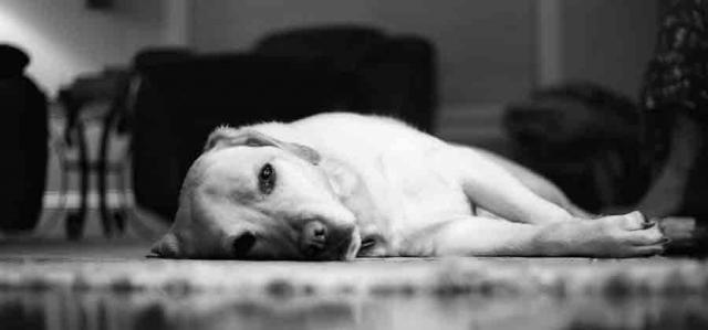 cane apatico