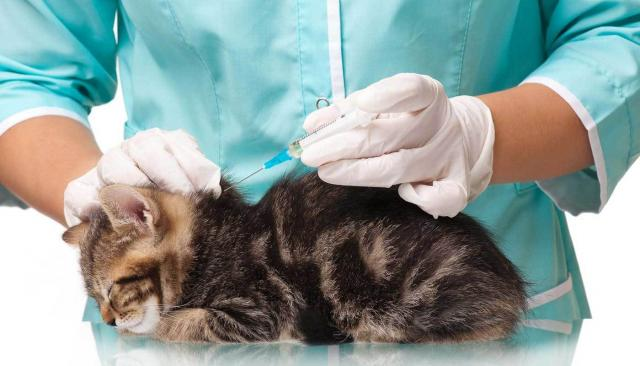Foto Reazione allergica al vaccino nei Gatti