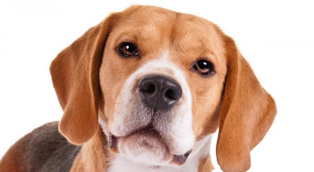 cane razza beagle