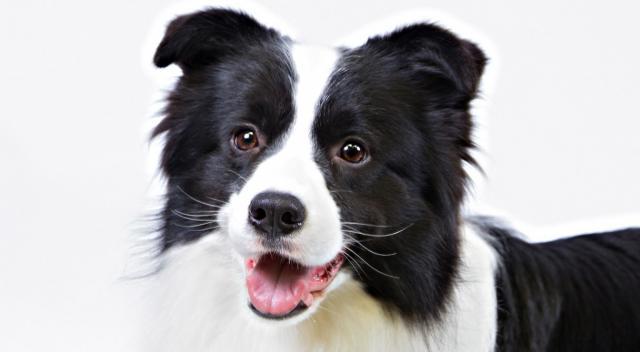cane razza collie