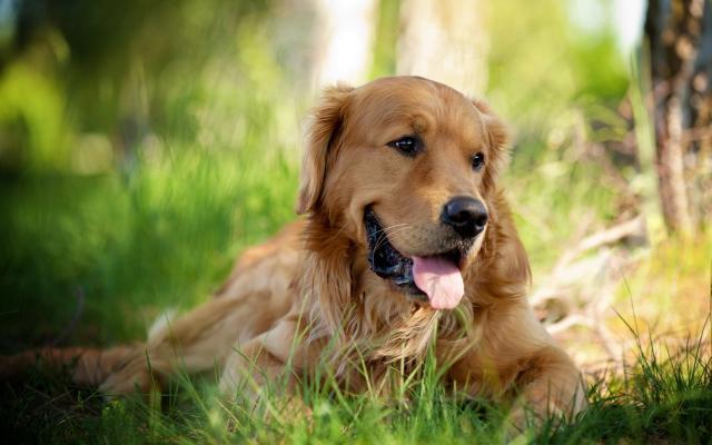 cane razza golden retriever