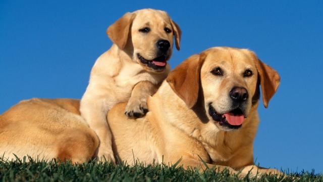 cane razza labrador