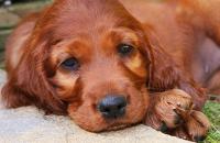 cane razza setter irlandese