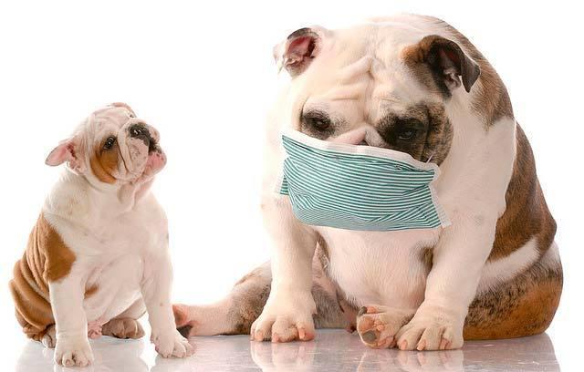 cane e cimurro