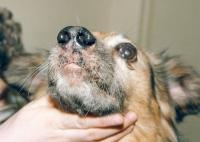 Foto Curare il cimurro nel Cane