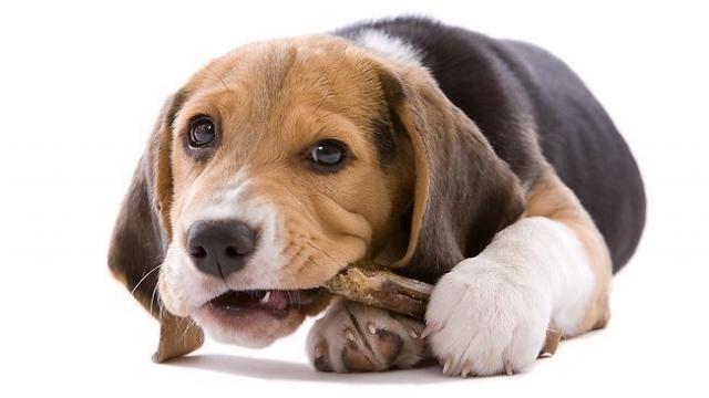 Foto Come controllare i denti del Cane