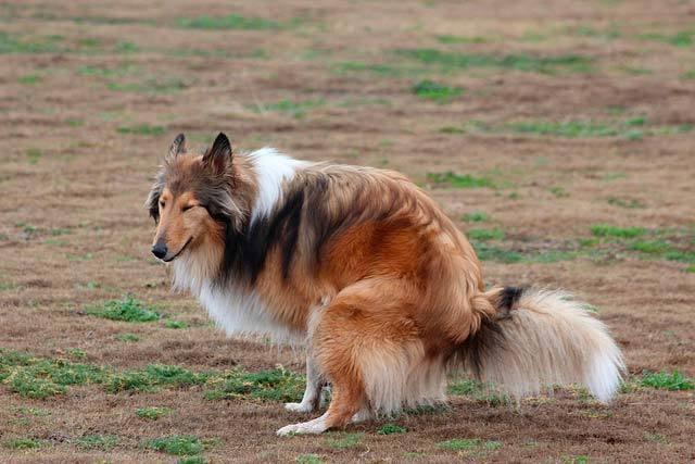 Foto Colore e consistenza delle feci del Cane