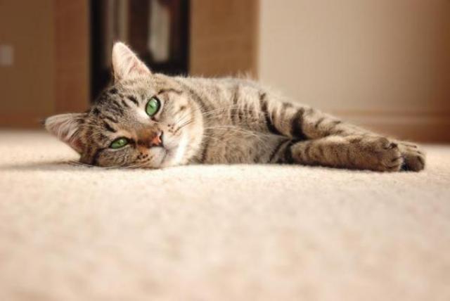 Foto Cistite e infezione urinaria nel Gatto