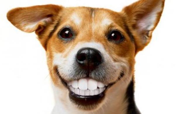 Foto Perchè il Cane mostra i denti?