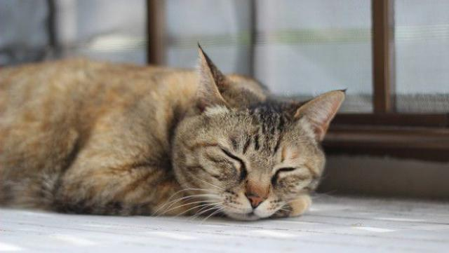 gatto russa