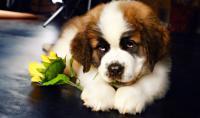 cucciolo di san bernardo
