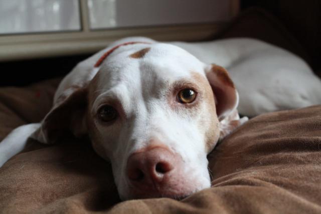 Foto Come capire se il cane ha la febbre?