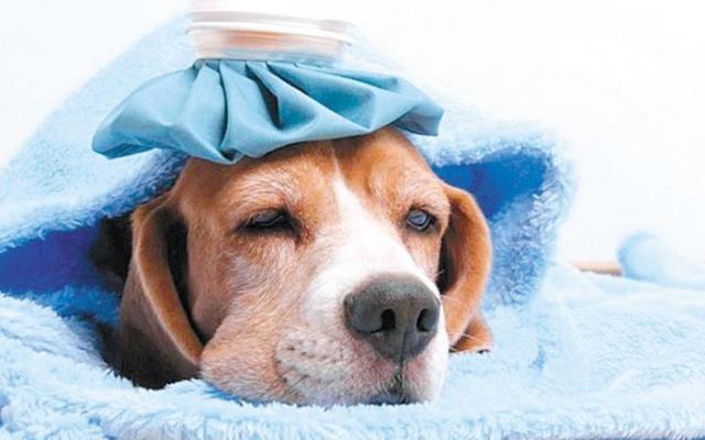 cane febbre