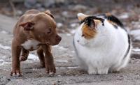 cucciolo pitbull e gatto