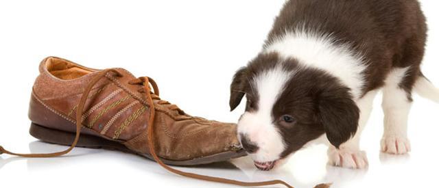 cucciolo morde scarpa