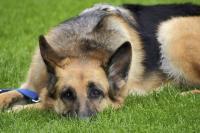 Foto Dermatite allergica da pulci nei Cani