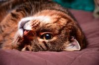 Foto Dispnea (difficoltà respiratorie) nel Gatto