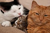 Foto Leucemia nei gatti (FeLV): sintomi, cause e trattamento