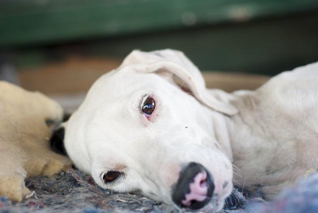Foto Sintomi e trattamento dell'ascite nel Cane