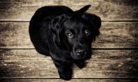Foto Sintomi e trattamento dell'epatite canina