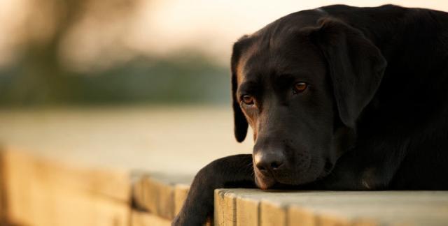 cane leptospirosi
