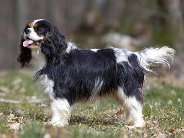 Foto Malattie del Cavalier King | Problemi di salute del Cavalier King