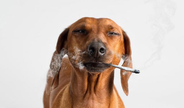 Foto Il fumo di sigaretta fa male al Cane?
