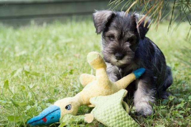 Foto Malattie del cane Schnauzer | Problemi di salute dello Schnauzer