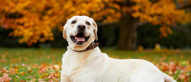 cane labrador retriever