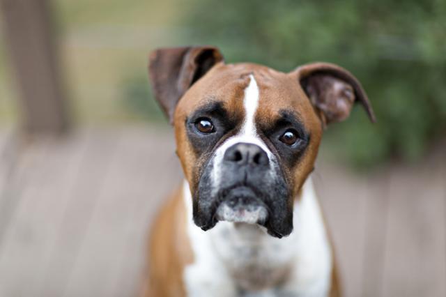 Foto Malattie del cane Boxer | Problemi di salute del Boxer