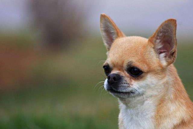 Foto Malattie del Chihuahua