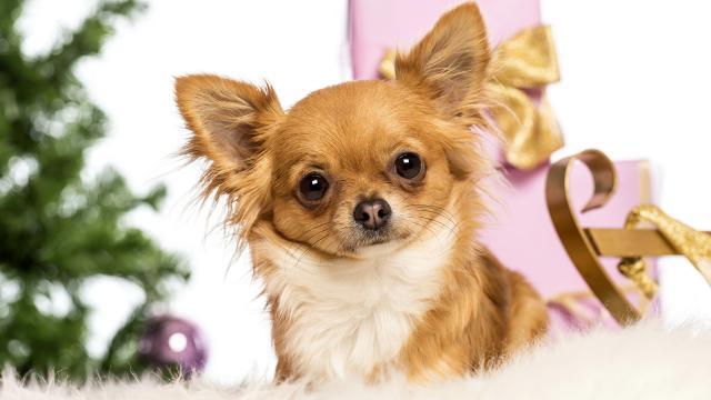 chihuahua natalizio