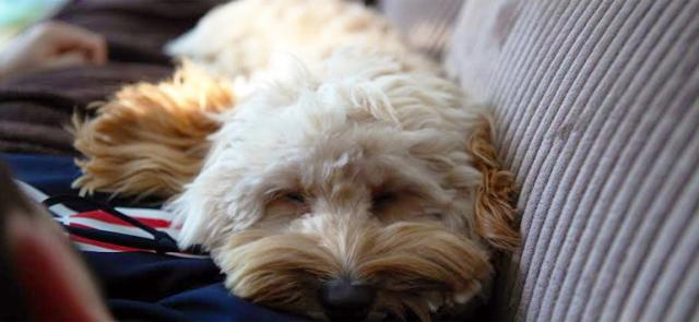 malattie virali cane
