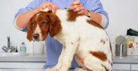 malattie batteriche cane