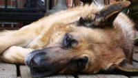 malattie comuni nel cane