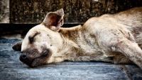 cane avvelenato