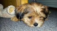 cane anemico
