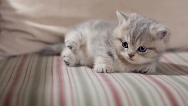 gatto con le pulci