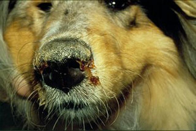 Foto Cimurro: grave malattia del Cane