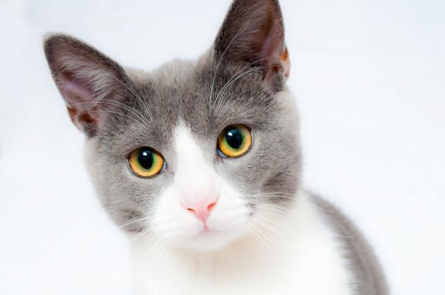 Foto Linfociti del gatto alti o bassi?