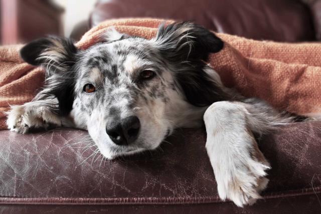 cane allergico pelle